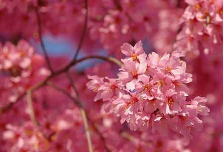 underbrush: Pink Flowers on a Tree