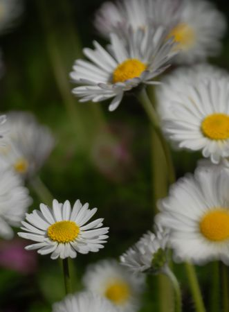 Spring daisies vertical composition Stock Photo