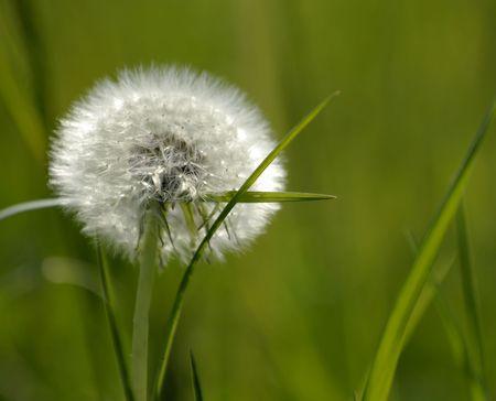 underbrush: Dandelion