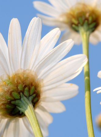 Particulars of daisies on natural sky background Stock Photo