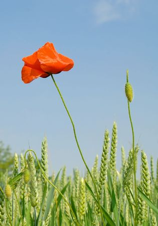 Poppy and Corn Ears on Natural Sky Stock Photo - 910867