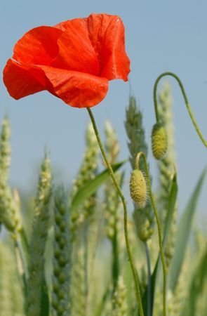 Poppy and Corn Ears on Natural Sky Stock Photo - 910869
