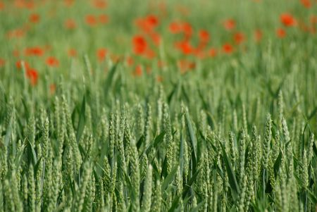 Corn Ears and defocussed poppies in background Stock Photo - 910897
