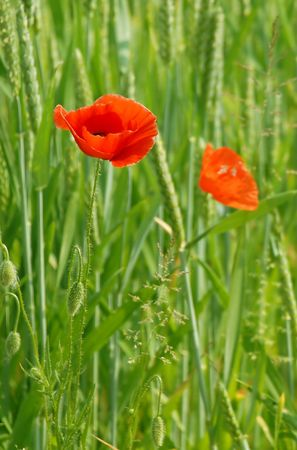 Poppies and Corn Ears Stock Photo - 910899