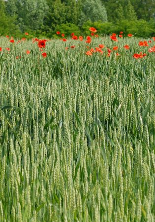 Corn Field with poppies in background Stock Photo - 910901