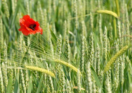 Poppy and Corn Ears Stock Photo - 910902