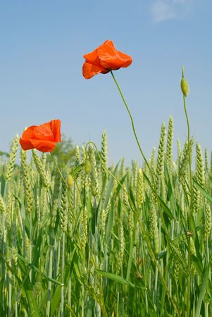 Poppies and Corn Ears on Natural Sky Stock Photo - 910907