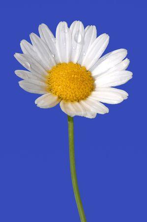 Daisy Blume  Standard-Bild - 935649
