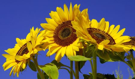 Sunflowers from Below