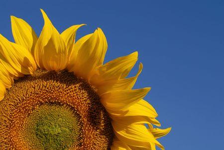 Sonnenblume Standard-Bild - 1126521