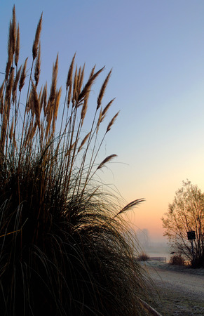 Early morning autumnal reed bush photo