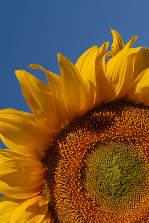 Sunflower Stock Photo - 1650115