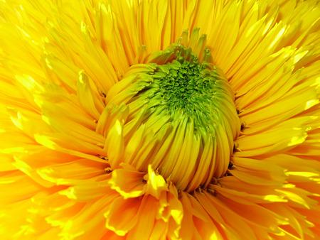 Gelbe Blume  Standard-Bild - 1665519