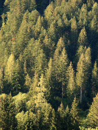 treetop: Morning Pines