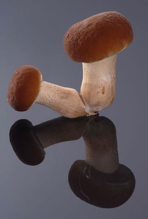 Mushroom and Reflection (studio shot) photo