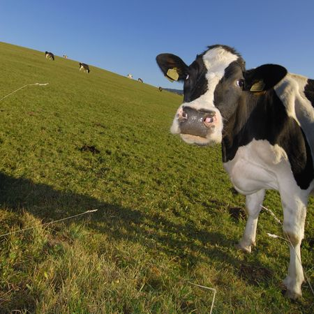 Curious Cow Stock Photo - 3063445