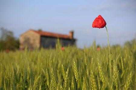 Corn field and poppy photo