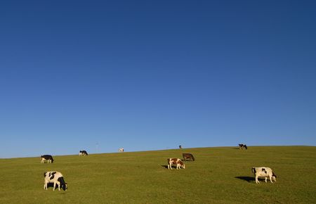 openspace: Hill country with sparse grazing cows