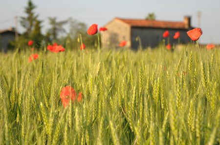 Rural morning: Corn field and poppies  photo