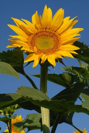 Sunflower on natural sky photo