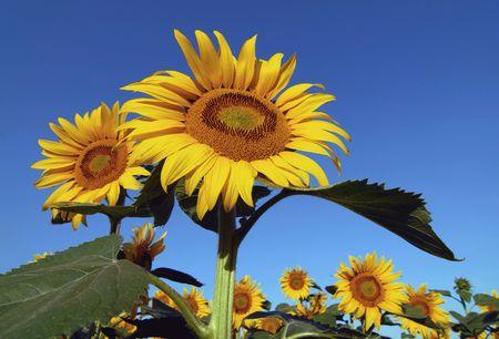 bioenergy: Sunflowers