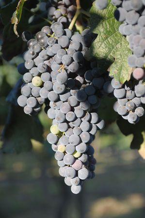 merlot: September delight: Merlot grapes Stock Photo