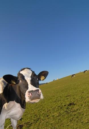 herding: Curious cow