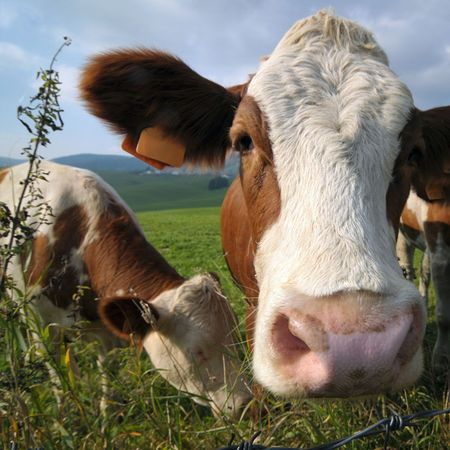 Curious cows in a mountain pastureland photo