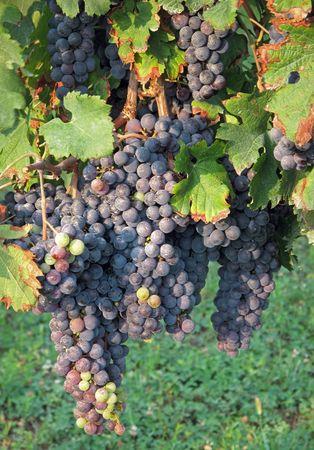 merlot: Merlot grapes                Stock Photo