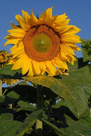 bioenergy: Bioenergy: Sunflower
