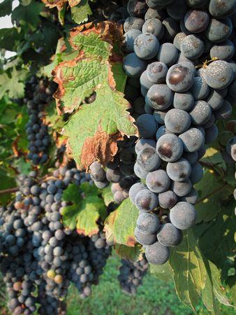 merlot: Merlot grapes on wineyard