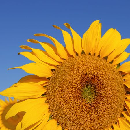 biodiesel: Sunflower detail