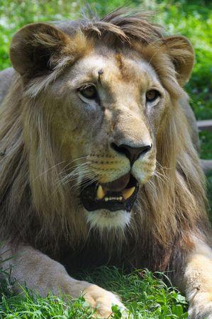 savagery: Lion portrait