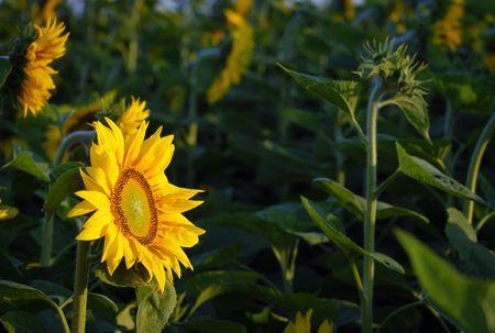 bioenergy: Sunflower field