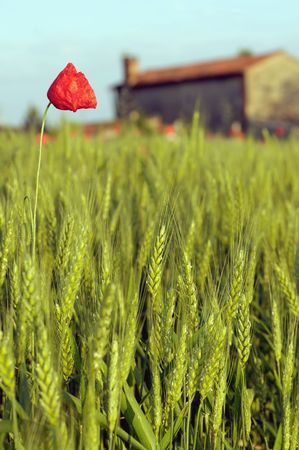 Rural landscape: Corn field and poppy photo