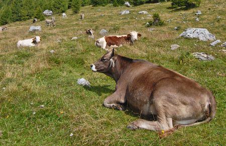 pastureland: Cows in an alpine pastureland Stock Photo