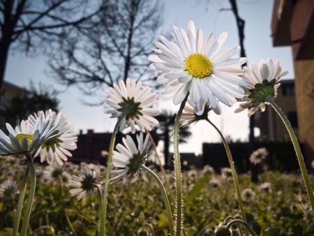 Daisies in an urban garden photo
