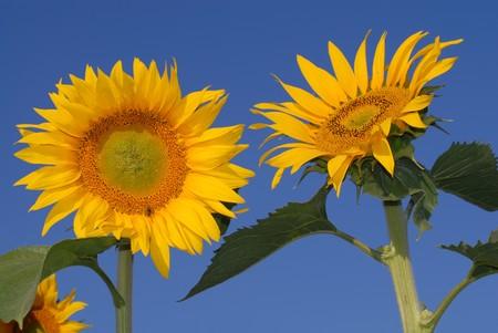 Sunflowers on blue sky photo