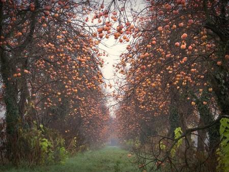graden: Persimmon trees perspective in autumn