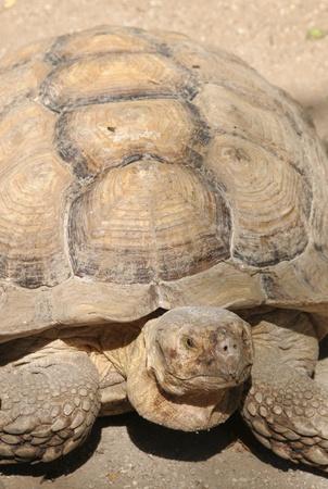 sulcata: African Spurred Tortoise (Geochelone Sulcata)