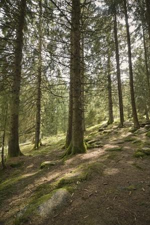 Alpine forest photo