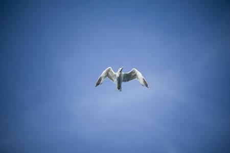 gaviota: Gaviota volando vista desde abajo, el cielo natural