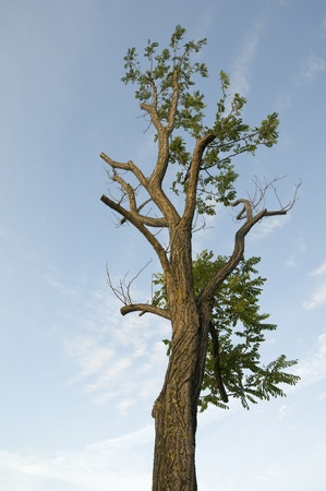 faboideae: Old Robinia Pseudoacacia tree on natural sky