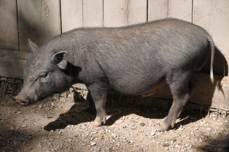 Young Pot-bellied pig photo