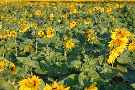 bioenergy: Sunflowers field