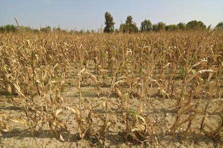 Dry season in a corn field