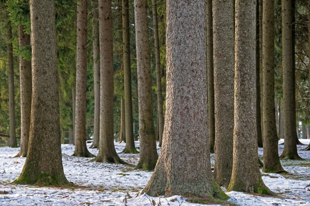 evergreen forest: Pine tree trunks in an evergreen forest on alps