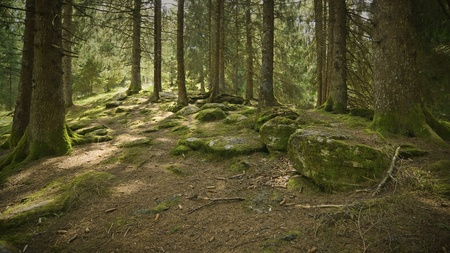 Summer alpine forest during early morning photo