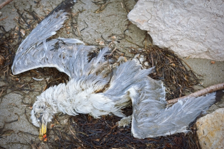 putrefied: Dead seagull on seashore Editorial
