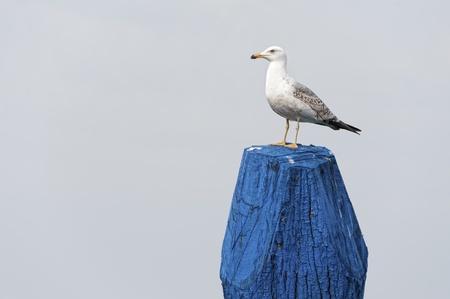 bollard: Scout seagull on a bollard